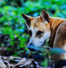 ,, Tracking a Cobra ,, (Jon in Thailand) Tags: pumpkin pumpkinthebumpkin rescueddog jungledog dogeyes nikon sigma d300 10528macro green jungle dogears snakehunting bodiddley thelook youlookinatme littledoglaughedstories