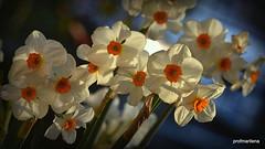 2019-03-127 happy in the sun (profmarilena) Tags: whiteorangedaffodils artwork macro closeup profmarilena daffodils eveninglight backlight
