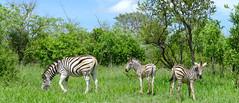 Burchell's Zebras (Equus quagga burchellii) mare and foals ... (berniedup) Tags: burchellszebra equusquaggaburchellii zebra taxonomy:trinomial=equusquaggaburchellii equusquagga taxonomy:binomial=equusquagga pretoriuskop kruger