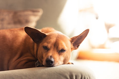 Rudy Just Had a Long Walk (Kevin VanEmburgh Photography) Tags: adoptdontshop chiweenie kansascity kcmo kevinvanemburghphotography luckydog mutt rescuedog rudy sleepingdog sleepy chair calm ears earsup chihuahua rescuemutt