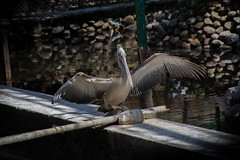 Pelican Wing (Kamal Swain) Tags: photography wildlife wild wildlifephotography indianwildlife wildlifeindia pelican bangalore saveanimal savenature bird birdlover d7200 nikond7200