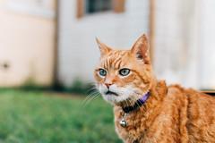 My Buddy (J. Parker Natural Florida Photographer) Tags: prime nikon depthoffield 50mm fx cats rip pumpkin pets vsco vscofilm retro vintage fauxvintage