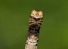IMG_4735  尺蛾科 Geometridae (vlee1009) Tags: 2019 60d canon march nantou taiwan nature caterpillars moths