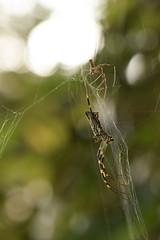DSC_6777 (Hachimaki123) Tags: 所沢航空記念公園 tokorozawaaviationmemorialpark 日本 japan 所沢市 埼玉県 所沢 tokorozawa saitama animal 虫 動物 arachnid arácnido araña spider クモ