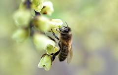 honey bee on Stachyurus chinensis 2/2 (conall..) Tags: bee honeybee apis mellifera apismellifera pollination flower nikon afs nikkor f18g lens 50mm prime primelens nikonafsnikkorf18g closeup raynox dcr250 macro rowallane national trust saintfield walled garden northernireland stachyurus chinensis chinese stachyuraceae shrub stachyuruschinensis chinesestachyurus