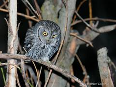 Western Screech Owl Hunting (Brian Eagar Nature Photography) Tags: owl westernscreechowl bird wild nature animal yard backyard utah utahbird wildlife olympus em1 m2 mii em1m2 em1mii 300mmf4 screech backyardnature screechowl nestbox