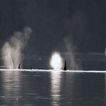 Orca Ducks 110 thumbnail