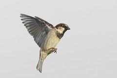 Moineau _DSC1748_DxO (jackez2010) Tags: a77mk2 a77m2 ilca77m2 sal70400g2 bif birdinflight moineau