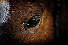 chesnut horse eye (Mallybee) Tags: chestnut horse eye fuji fujifilm xt10 mallybee closeup apsc xtrans f18 fujinpn 42mm oldlens 55mm animal