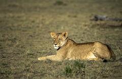 Lioness in repose (momathew) Tags: lioness africanlion apexpredator felidae feline pantheraleo carnivore bigcat africa wildlifeafrica resting grassland masaimara