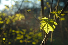 Green sundance (iz.andre) Tags: lens flare helios 442 russia biotar copy vintage old forest maple leaf backlight ray light nature green 258 58mm prime sony alpha 7 mk2 a7ii bokeh