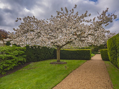 Blooming Cherry (Ian M Bentley) Tags: castleashby castleashbygardens cherry cherryblosson taihaku whiteblossom colours red yellow white green blue tree cherrytree japanese sakura olympus omd em1ii panasonic714mm 1428mm f4 panasonic m43 microfourthirds wideangle extremewideangle zoomlens northampton northmptonshire england uk europe april earlyapril outdoor flower flowering spring handheld ibs formalgardens blossom prunusserrulata greatwhitecherry 1932 magnificent wonderful sky gloomyday poorlight badlight light stormy darkskies clouds cloudy lumix g vario 714mmf40 asph