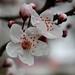 Felsenbirnenblüte (03)