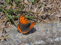 Lycaena phlaeas butterfly (common copper, ベニシジミ) (Greg Peterson in Japan) Tags: bugs wildlife yasu 滋賀県 japan 野洲市 shiga 昆虫 ベニシジミ shigaprefecture