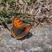 Lycaena phlaeas butterfly (common copper, ベニシジミ)