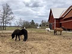 Sen lunch… (Patrick Strandberg) Tags: sweden östergötland bergagård benji eilifur freyda freydafrånblixtorp icelandichorses islandshästar horses hästar iphone iphonex