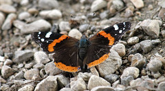 On The Rocks (Kaptured by Kala) Tags: redadmiral vanessaatalanta butterfly orangeandbrownbutterfly redadmiralbutterfly whiterocklake dallastexas sunsetbay closeup bug insect belowme openwings feeding eating gravel tatteredandworn