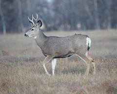 Mule Deer-12 (trdunn) Tags: muledeer colorado weldcounty wildlife animal easternplains nature buck antlers fall