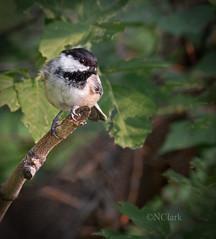 The newbie (N.Clark) Tags: blackcappedchickadeepeocileatricapillus chickadees familyparidae wildbirds birds birdsofmanitoba newbie avian ornithology naturethroughthelens