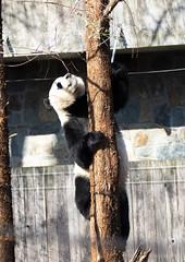 Climbing Giant Panda (Ailuropoda melanoleuca) (CGDana) Tags: national zoo smithsonian dc district us mammal mega fauna canon 7d mk2