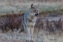 IMG_4922 coyote (starc283) Tags: starc283 wildlife flickr flicker canon 7d nature natures finest nebraska watcher outdoors outdoor predator prairie smug bug animal grass pet mammal wood coyote ghost