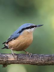 Nuthatch (Brian Dunning) Tags: bird nuthatch sittaeuropaea shakerleymere cheshire canon eos7dmarkii ef100400mmf4556lisiiusm