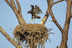 Juvenile Bald Eagle (DFChurch) Tags: fort myers florida juvenile bald eagle bird raptor nest wild