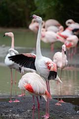 Flamengo (Borreltje.com) Tags: flamingo flamengo bird bnirds vogel vogels zoo dierentuin burgerszoo wildlife pink