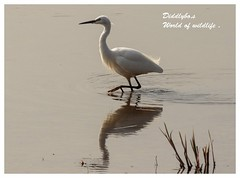Egret 2 (Diddley Bo) Tags: