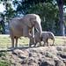 Mkhaya  and momma - San Diego Zoo Safari Park