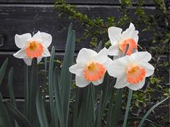 Frühlingsfreuden (Sophia-Fatima) Tags: mygarden meingarten naturgarten gardening osterglocke