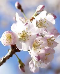 LookUp (tanith.watkins) Tags: macromondays lookup blossom cherry