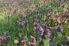 Red dead nettle (hedgehoggarden1) Tags: reddeadnettle wildflower plant flora nature sonycybershot whitlinghamcountrypark norfolk eastanglia uk sony