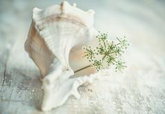 white on white ...MM (Ayeshadows) Tags: macromondays macro monday whiteonwhite white seashell queen anne lace