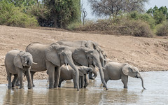 Filling the tanks (tickspics ) Tags: southluangwa zambia africanelephant africa bushelephant elephantidae iucnredlistvulnerable loxodontaafricana luangwavalley mammalia proboscidea savannaelephant southluangwanationalpark