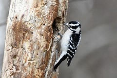 Downy woodpecker (j shew) Tags: downywoodpecker