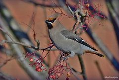 Waxwing - Flitwick - Bedfordshire (Alan Woodgate) Tags: waxwing bird flitwick rare
