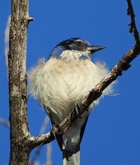 Windblown California Scrub Jay (Ruby 2417) Tags: scrub jay bird wildlife nature davis cannery tree wind