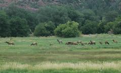 Wildlife in the Silverton Valley (D70) Tags: wildlife silverton valley colorado unitedstates elk herd grass
