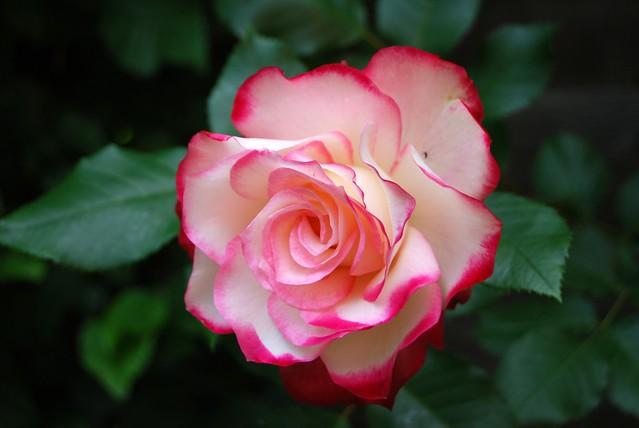 Обои макро, роза, лепестки, бутон картинки на рабочий стол, раздел цветы - скачать