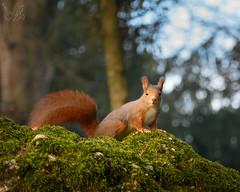 Rosso (Eros Penatti) Tags: scoiattolorosso sciurus vulgaris monza parcodimonza lombardia italia