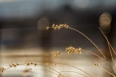 Golden aura (g.aftermath) Tags: budapest danube duna margithid vintage jupiter 135mm f4 sony a72 golden light aura