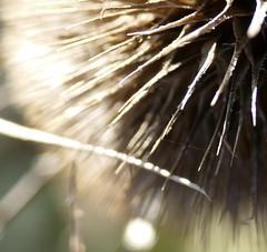 What is that? (tanith.watkins) Tags: macro seed teasle macromondays whatisthat