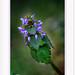 """""""L'homme regarde la fleur, la fleur sourit."""" : De Koan zen-- Lamium purpureum"""
