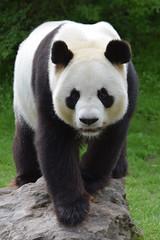 Yuan Zi @ Zoo de Beauval 13-05-2018 (Maxime de Boer (2)) Tags: yuan zi giant panda reuzenpanda zoo parc de beauval saintaignan animals dieren dierentuin gods creation