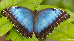Blue Morphus Butterfly (Daveoffshore) Tags: butterfly insect leaf plant wing colour colourful vivid blue morphus
