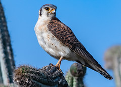 Cactus Chilln' American Kestral (Falco sparverius), Haiti (MikeM_1201) Tags: americankestral bird animal raptor wildlife nature bluesky cactus d500 haiti paulette bos