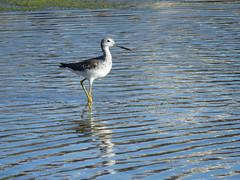 Tringa melanoleuca visiting salt pan shallow water (stonebird) Tags: ballonawetlandsecologicalreserve areab march greateryellowlegs b tringamelanoleuca img1126