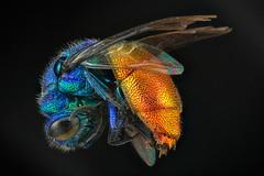 avispa cuco 2 (JAVIOT) Tags: avispa cuco wasp componon