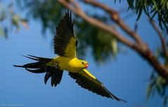 Regent Parrot (Mykel46) Tags: flight 100400mmgm a9 sony outdoors outside wildlife nature regentparrot bif